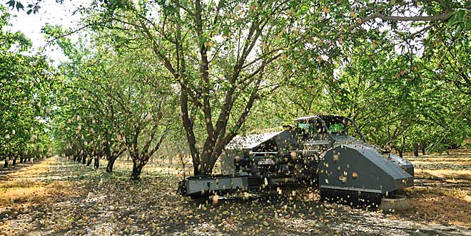 Harvest time at one of Central Valley Almond Association's growers.